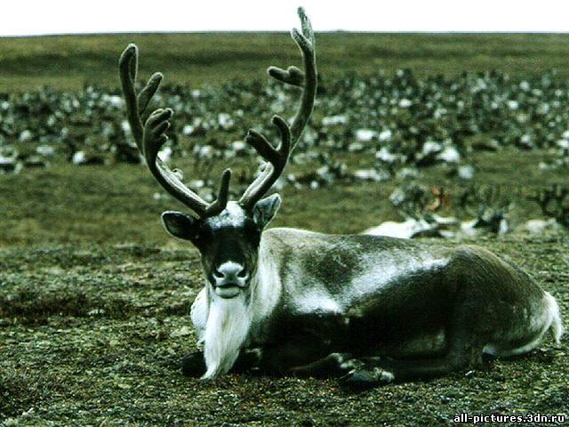 Северный олень, северный олень фото, скачать картинки, прикольные картинки, животные