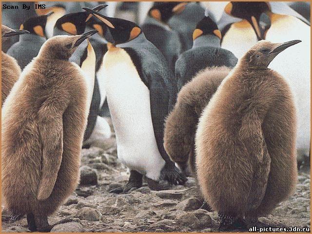 Пингвины, фото пингвинов, пингвины фото, фото животных, картинки, скачат картинки