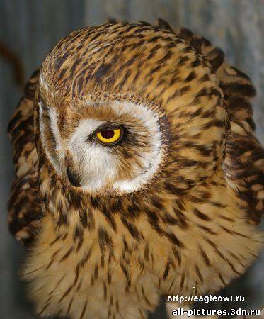 сова, фото совы, сова фото, фото животных, скачать картинки, картинки бесплатно, скачать картинки бесплатно, прикольные картинки