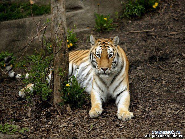 тигр, фото тигра, тигры фото, скачать картинки, картинки, фото животных, животные, смешные картинки