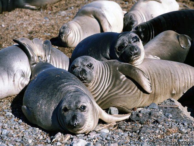 Тюлень, фото тюленей, картинки, скачать картинки, картинки на рабочий стол