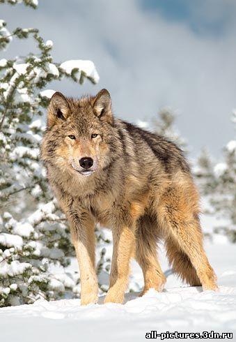 волки, волки фото, фото животных, собаки, скачать картинки, картинки, бесплатные картинки, животные